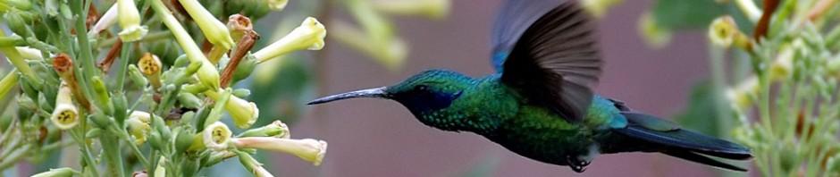 A la luz de la luna. - Página 2 Cropped-flying-colibri-bird