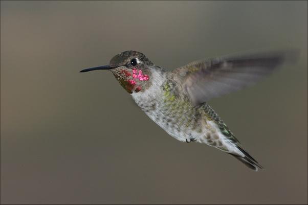 colibri de ana