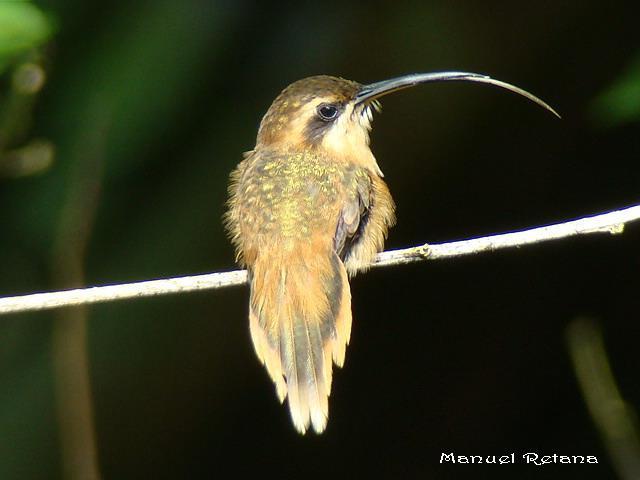 colibri ermitaño golirayado posado
