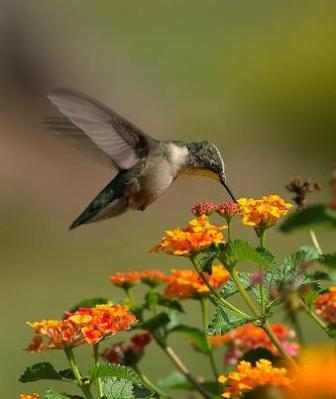 colibri alimentandose