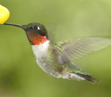 colibri garganta roja