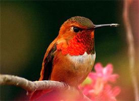 colibrí rufo posado