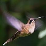 colibri ermitaño golirayado