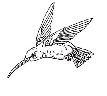 dibujo de colibrí