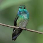 colibri diamante