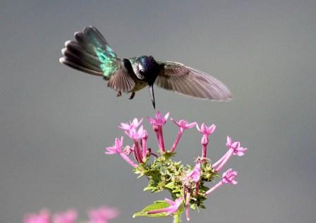 colibri cabeza violeta